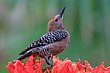 Gila Woodpecker 2.jpg