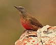 Ground Woodpecker 2.jpg