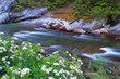 Merced River Rhododendrons 1.jpg