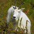 Mountain Goat 1.jpg