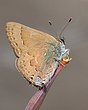 Mountain Mahogany Hairstreak.jpg