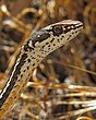 Striped Racer 1.jpg