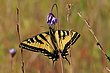 Swallowtail On Blue Dicks.jpg