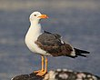 Yellow Footed Gull.jpg