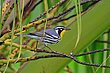 Yellow Throated Warbler 1.jpg