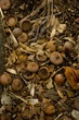 Acorns Appalachian Trail Virginia_3218-2.jpg