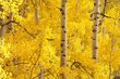 Aspen Leaves in Fall Owl Creek Pass Colorado (CO-74575).jpg