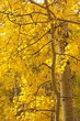 Aspen Tree Fall Owl Creek Pass Colorado (CO-74579).jpg