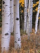 Aspen boles autumn Colorado.jpg