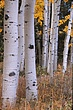 Aspen boles in Autumn Front Range Colorado.jpg