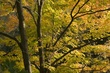 Autumn Maples Wildcat Creek Indiana.jpg