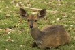 Bush Buck female.jpg