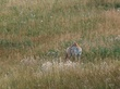 Coyote in Meadow Rocky Mountain National Park (DAN-0008).jpg