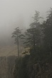 Fog and Pines 4115.jpg