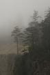 Fog and Pines 4115.jpg