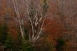Birch Trees Fall White Mountains New Hampshire 75558.jpg