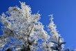 Everwhites -- Coniferes blancs.jpg