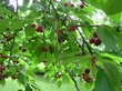 Cherry Tree in my Garden.jpg