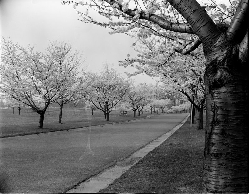 A368-1 Kenwood Cherry Blossoms 1939.jpg :: 1939 Kenwood Cherry Blossoms