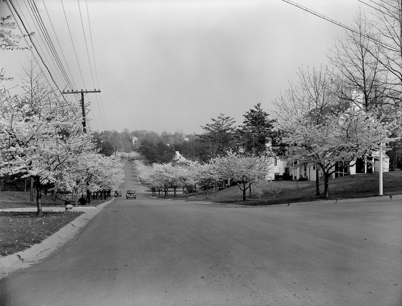 A368-10 Kenwood Cherry Blossoms 1939.jpg :: 1939 Kenwood Cherry Blossoms