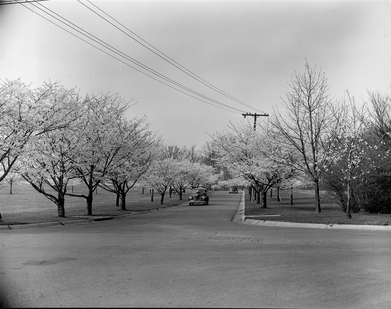 A368-11 Kenwood Cherry Blossoms 1939.jpg :: 1939 Kenwood Cherry Blossoms