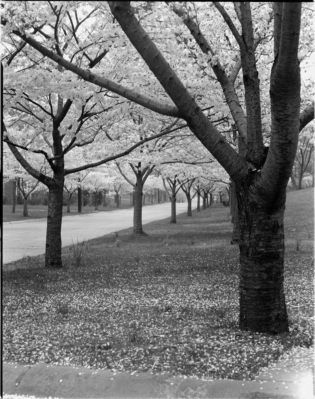 A368-4 Kenwood Cherry Blossoms 1939.jpg :: 1939 Kenwood Cherry Blossoms