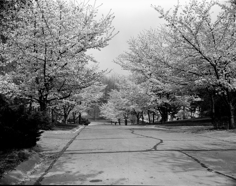 A368-5 Kenwood Cherry Blossoms 1939.jpg :: 1939 Kenwood Cherry Blossoms