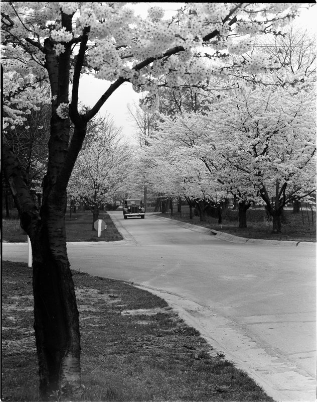 A368-7 Kenwood Cherry Blossoms 1939.jpg :: 1939 Kenwood Cherry Blossoms