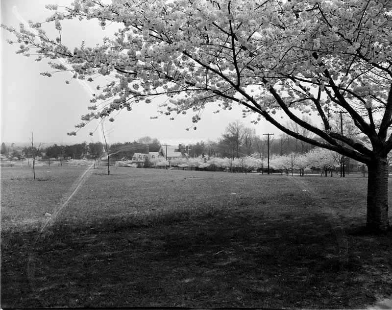 A368-9 Kenwood Cherry Blossoms 1939.jpg :: 1939 Kenwood Cherry Blossoms