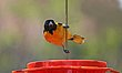 Baltimore Oriole Feeder.jpg