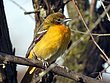 Baltimore Oriole Female CU.jpg