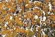 Birch Tree In Snow.jpg
