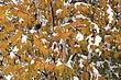 Birch Tree In Snow.jpg