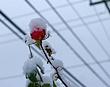 Snowrose1.jpg