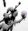 snowrose2.jpg