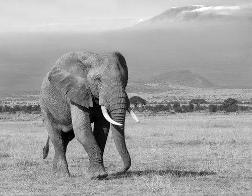 164A1357elephant-bull-walking-towardSilverefex-pro(1).jpg
