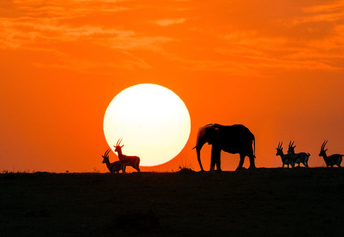 Elephant and Thompson-Gazelles-in-Sunset.jpg