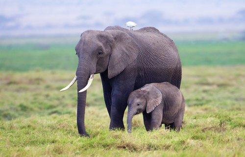 Elephant-and-young-in-Marsh-of-Amboseli.jpg