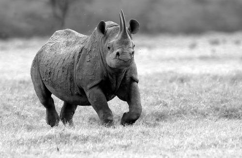 Black-Rhino-charging in black and white.jpg