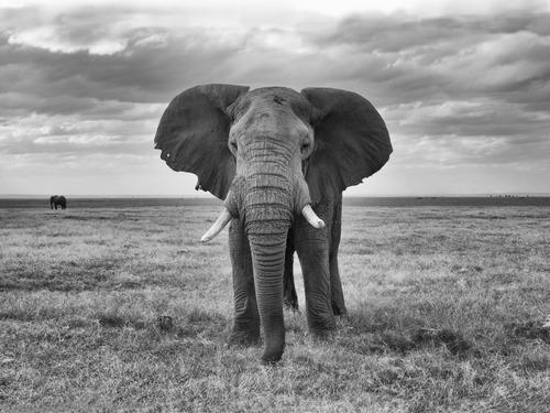 Elephant Bull In Amboseli Kenya.jpg