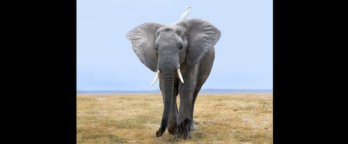 Elephant-and Egret In Amboseli.jpg
