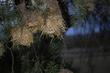 164A1961social weaver nest.jpg
