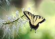 BF40 Eastern Tiger swallow tail on white flowers.jpg