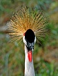 East African Crowned Crane ZO18.jpg