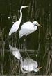 Egret-pair W22.jpg