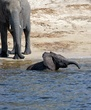 Elephant And  Baby Playing In Chobe.jpg