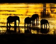 Elephant Silhouettes At Sundown.jpg