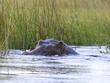 Hippo stare 2.jpg