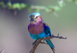 Lilac-Breasted-Roller.jpg