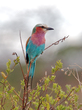 Lilac-breasted-roller--805.jpg